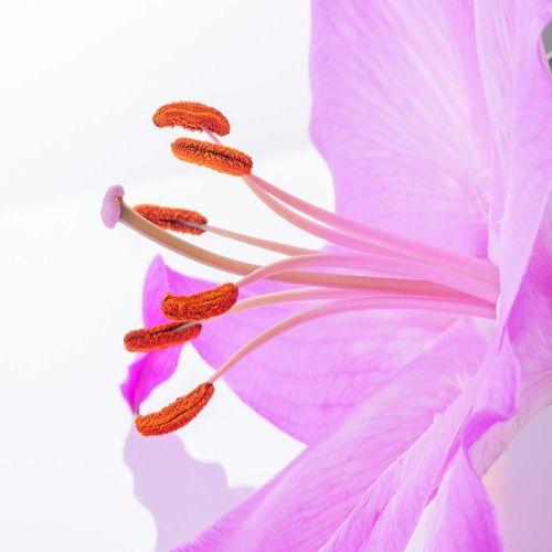 En las flores protagonistas de nuestra historia, la polinización es la causante del viaje que hace el polen desde sus estambres hasta su estigma