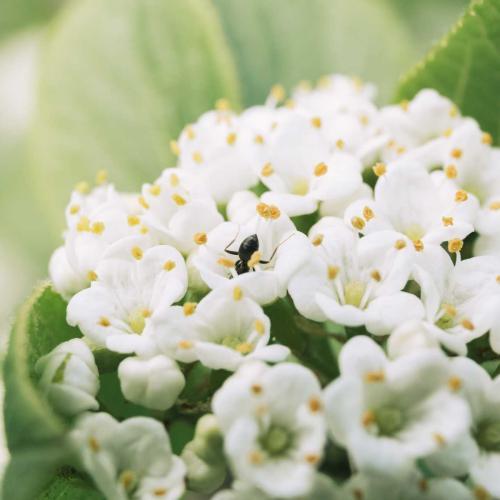 Las hormigas suelen polinizar pequeñas plantas con flores blancas y abiertas. Son unas golosas.