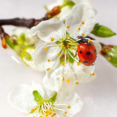 A las mariquitas les encantan las flores blancas. ¿Sabías que las mariquitas son de la familia de los escarabajos?