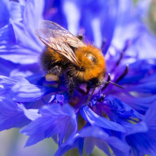 Los abejorros, al ser más grandes son importantes polinizadores. Són más fuertes que las abejas y utilizan una técnica muy eficaz, la polinización por zumbido.