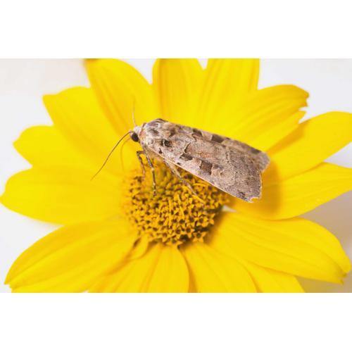 Las polillas, que son parientes cercanos de las mariposas.